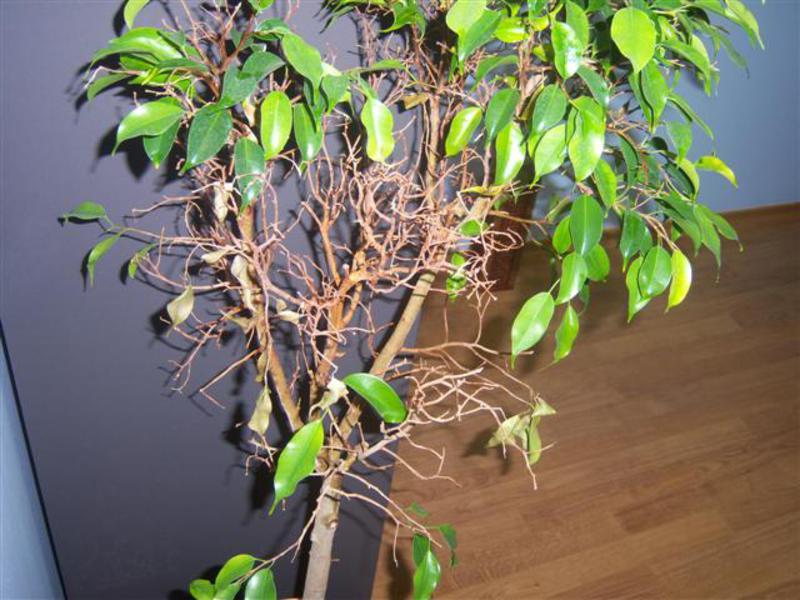 опадают листья у фикуса
