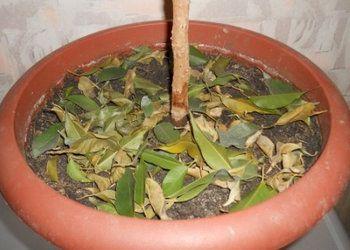 у фикуса бенджамина опадает листва