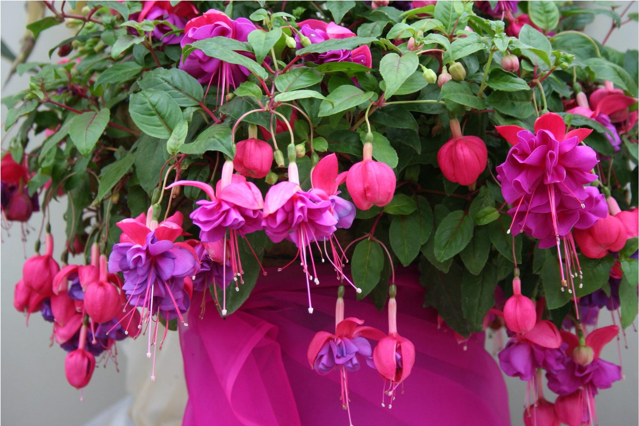 Купить цветы фуксию во владимире, цветов беларуси